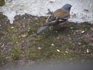 Lintu pihalla syömassä