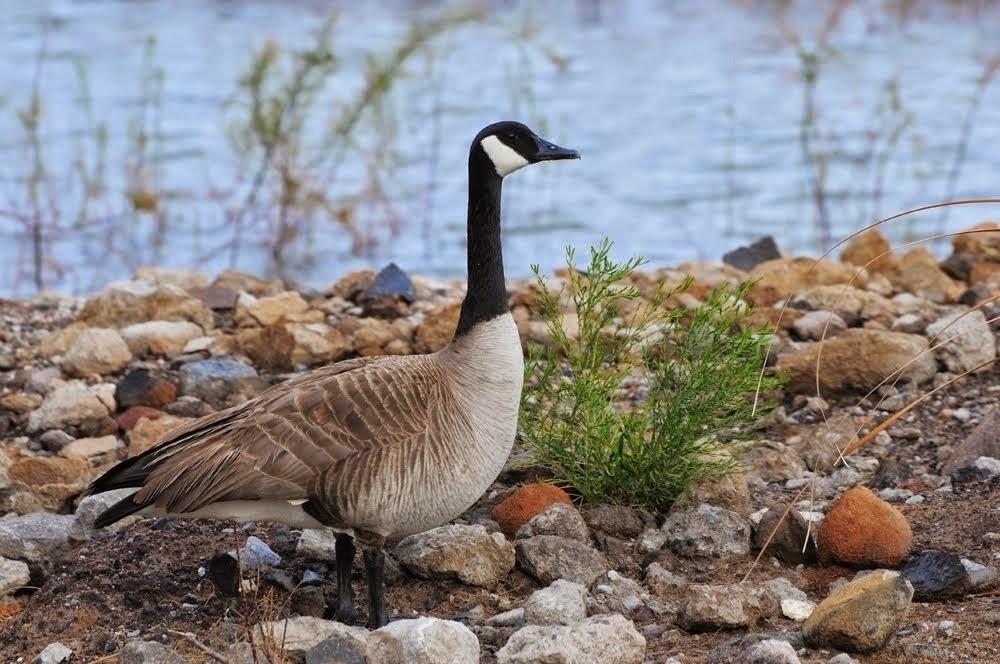 Canada Goose Branta canadensis_5703