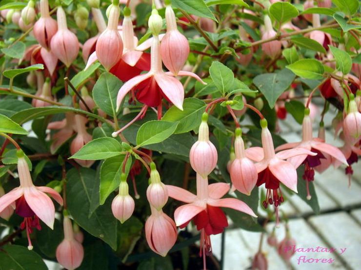 Plantas y flores fuchsia hybrida - Plantas de exterior resistentes todo el ano ...