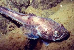 Gambar Ikan Midshipman