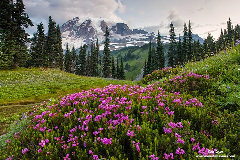 Mount Rainier above pink heather on Mazama Ridge in Mount Rainier National Park, Cascade Range, Washington, USA.