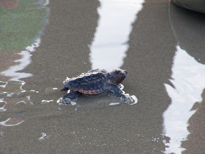 Hatchling loggerhead sea turtle
