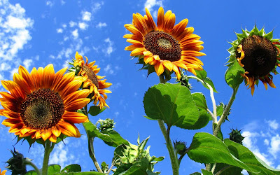 Beautiful Sunflower Widescreen Wallpaper