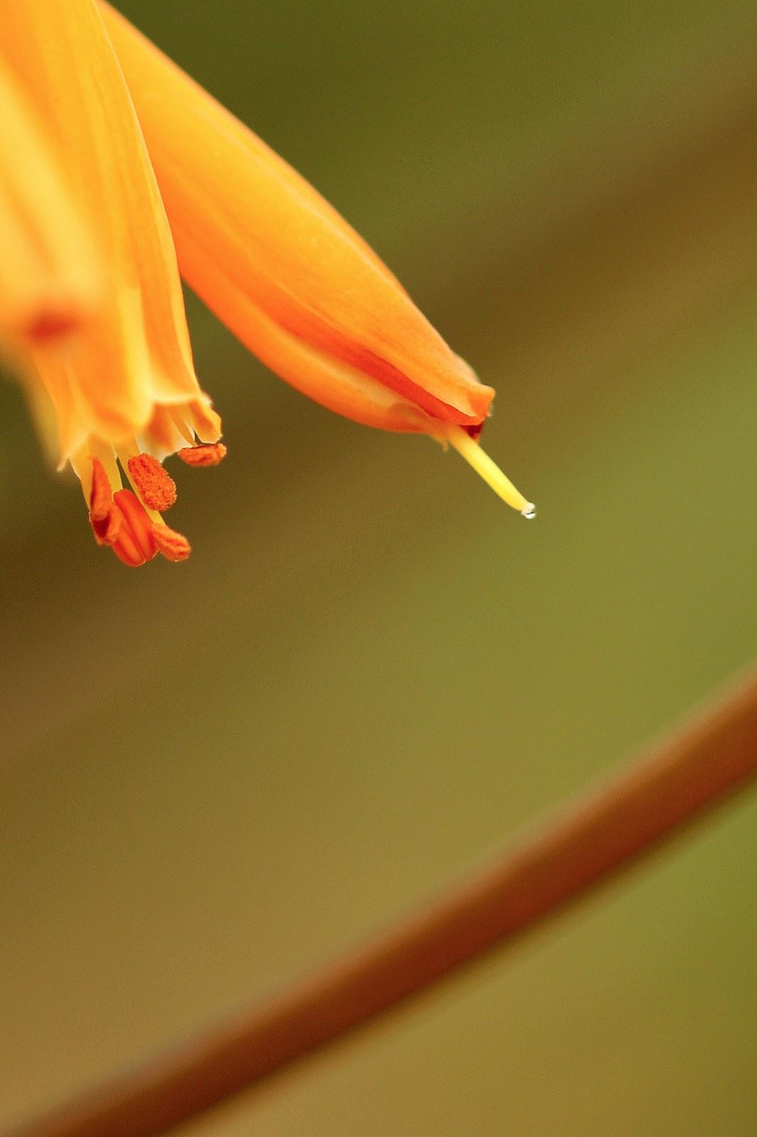 Aloe buhrii - Flowers