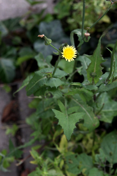 Healing weeds sow thistle sow thistle mightylinksfo