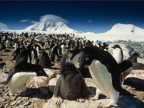 Gambar Gerombolan Pinguin Lucu