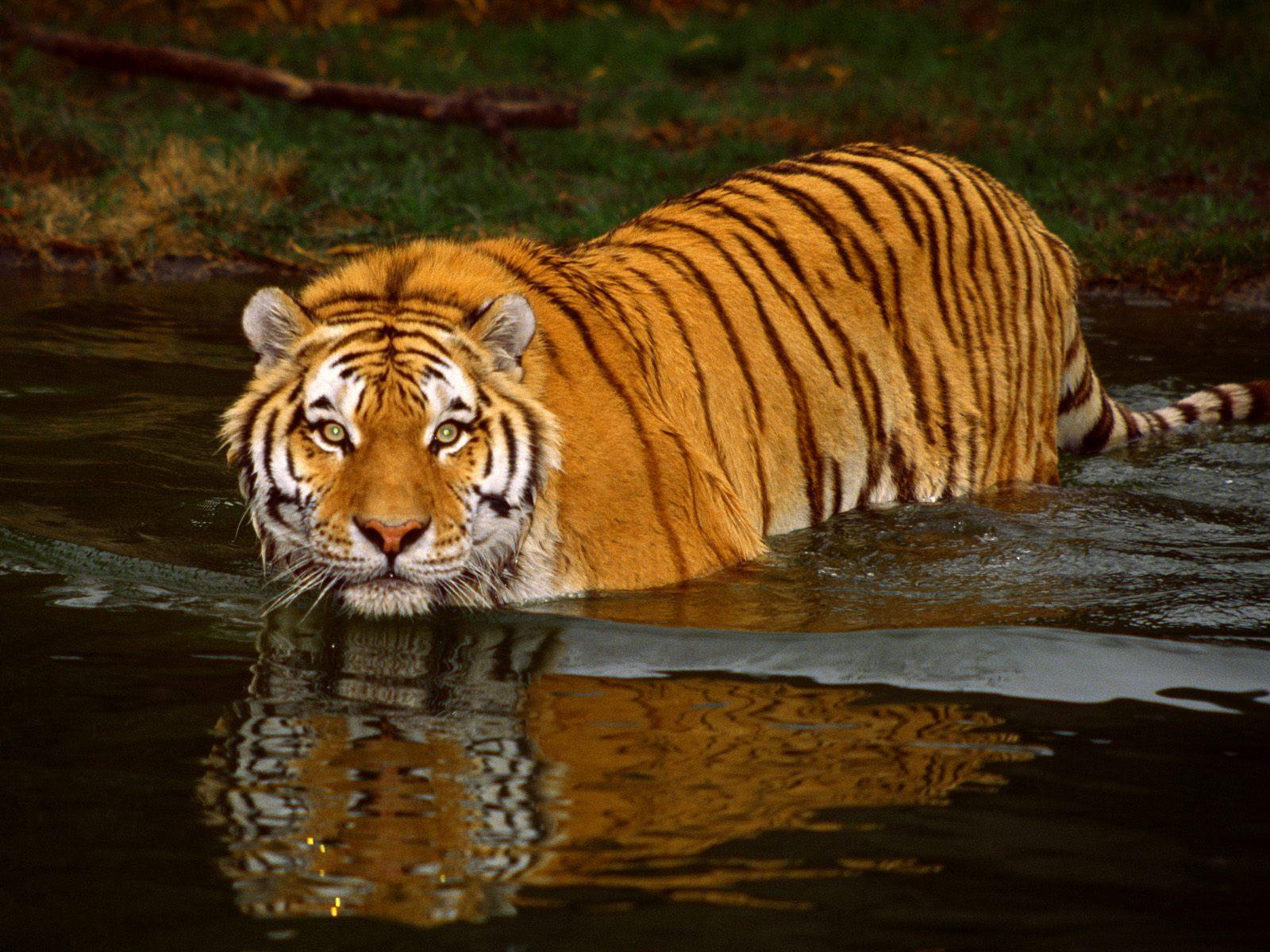 Hintergrundbilder kostenlos: Desktop verschönern CHIP - Hintergrundbilder Kostenlos Tiger