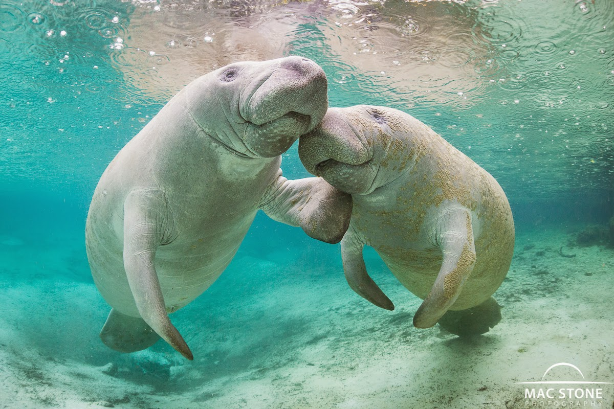 Two manatees show affection in Crystal River