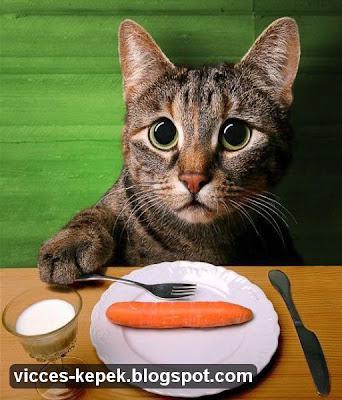 macska kép