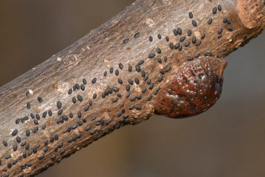 Tuliptree Scale insect crawlers on Poplar branch during winter