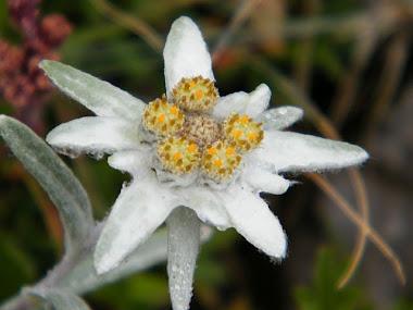 stella alpina alla Gardetta