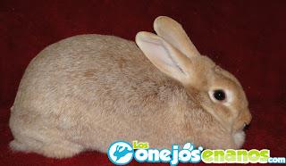 Razas de conejos enanos : Creme d'Argent