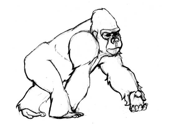 Gorilla Face Line Drawing : How to draw baby gorilla