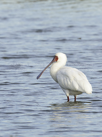 Photograph of African Spoonbill (Platalea alba) stood in shallow water