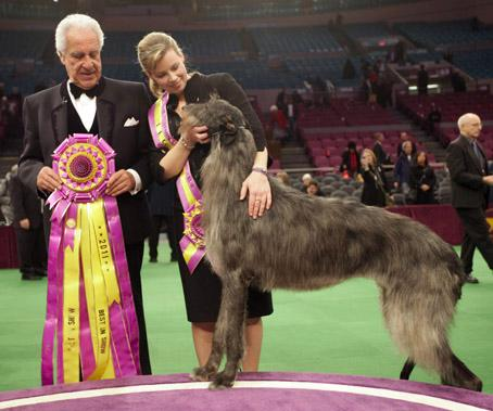 Scottish Deerhound, Westminster