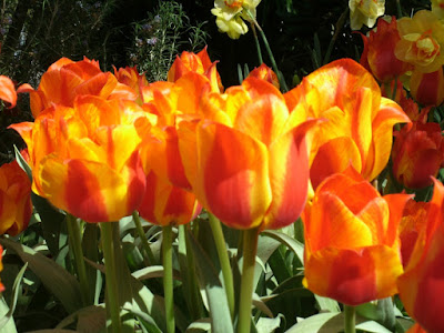 Allan Gardens Conservatory 2012 Spring Flower Show red and orange streaked tulips by garden muses: a Toronto gardening blog