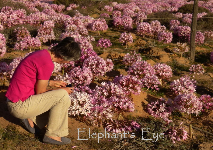 Elephant's Eye: Malgas lilies near Moutonshoek