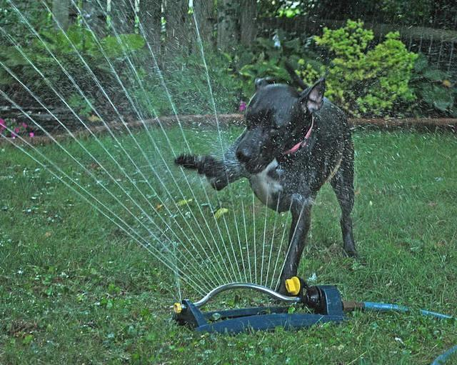 dogs playing in water sprinklers