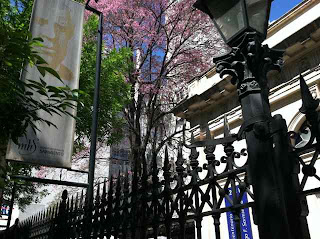 Jacaranda trees in bloom in November!