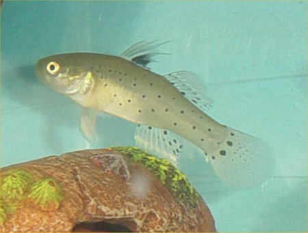 Fish girl writes guest post brackish aquariums for Freshwater goby fish