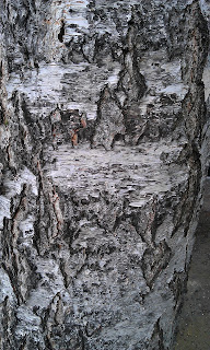Betula - Birch Bark Of Mature Tree