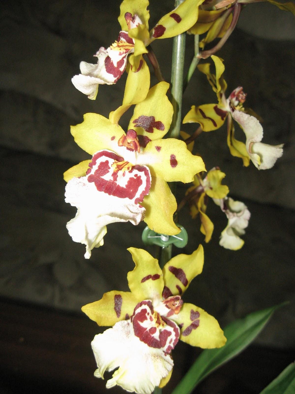 Цветы орхидеи камбрия желтого цвета