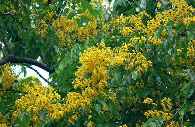 http://1.bp.blogspot.com/-xMB6lY_TN-k/VNIpJU-BvXI/AAAAAAAAAsY/alPpKUSn28o/s1600/jenis-pohon-angsana-berbunga.jpg
