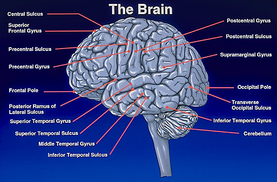 otak manusia, bagian- bagian otak, fungsi otak manusia