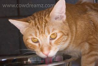 Orange cat drinking milk from a bowl