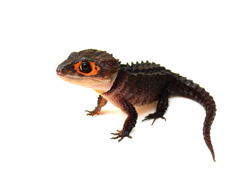 Dibujos de reptiles - imagenes de animales reptiles