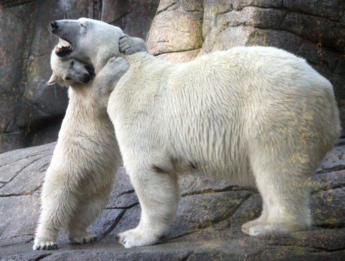 Abraço um mae urso de na sua