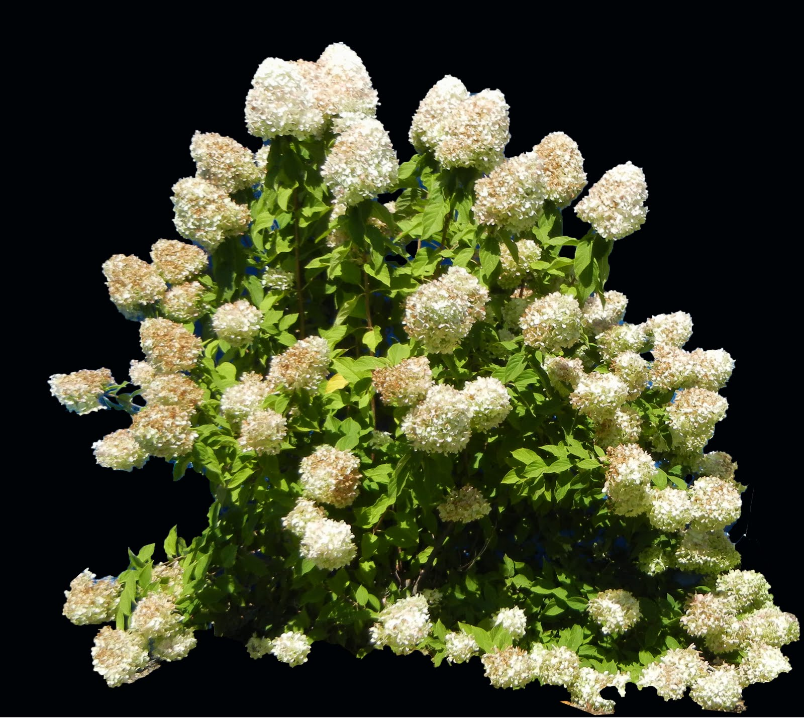 digital hortorium hydrangea paniculata 39 limelight 39 heather faivre. Black Bedroom Furniture Sets. Home Design Ideas