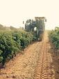 New Holland VX7090 Grape Harvester. Working in El Provencio