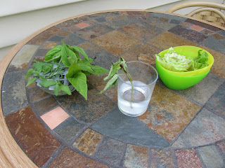 Rooting cuttings to clone your plants   Bobbins of Basil