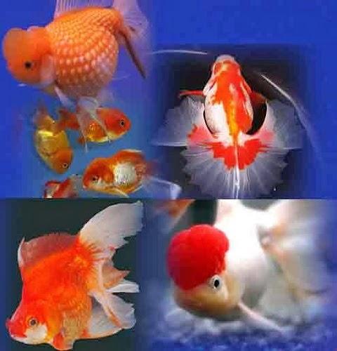 Gambar-gambar ikan hias air tawar yang Lucu dan Indah Warna Warni ...
