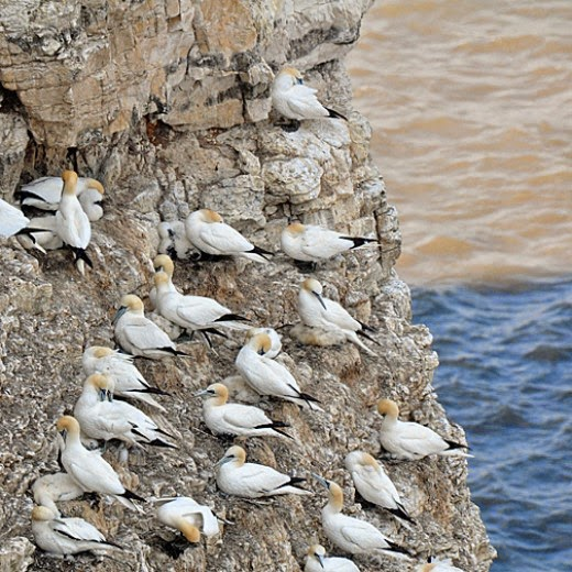 gannets nesting at RSPB Bempton Cliffs Yorkshire