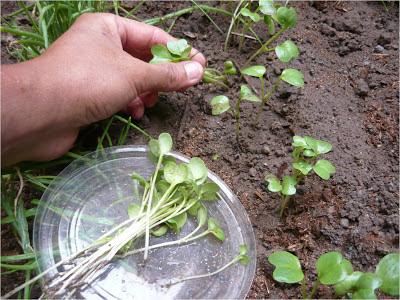 Alternativa ecol gica las hortalizas bebe for Plantas hortalizas ejemplos