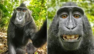 Monyet Hitam Sulawesi Mendunia