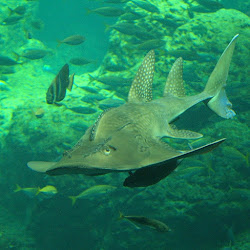Bowmouth Guitarfish