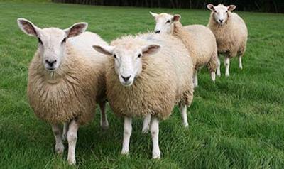 Pemerkosaan Seekor Domba