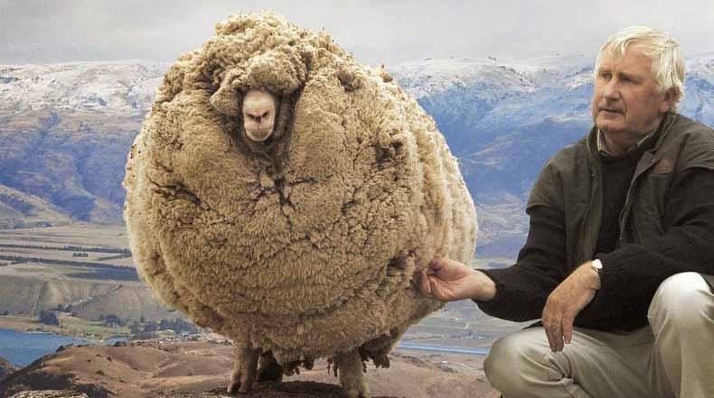 Shrek, La oveja que escapó del esquileo por 6 años