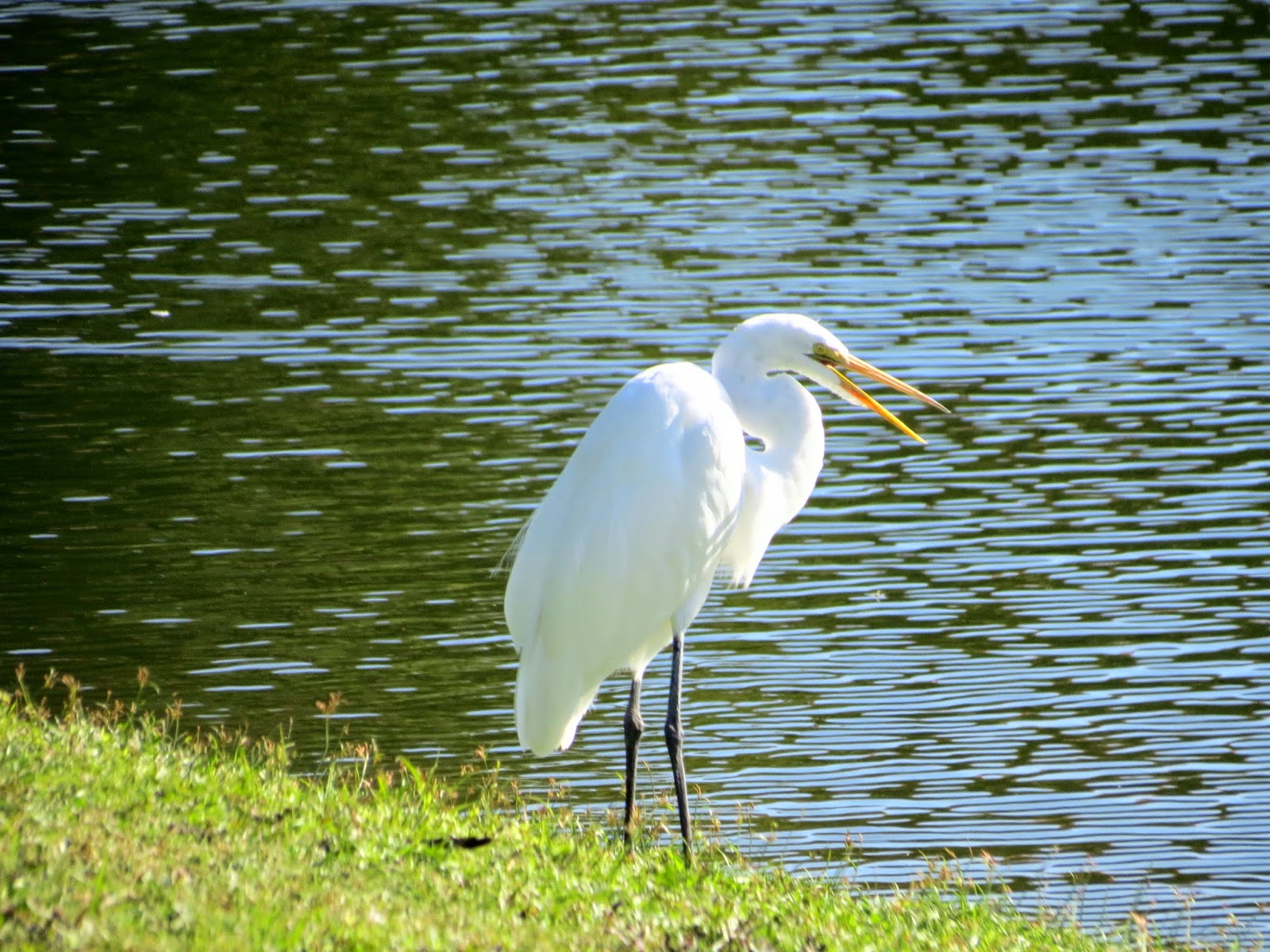 white heron symbolism Animal spirit guides - bird meanings and symbols bird animal  white bunting  — bringer of light and emphasis on purity, cleansing and healing bustard   heron,— the heron is symbolic in many cultures in egypt the.