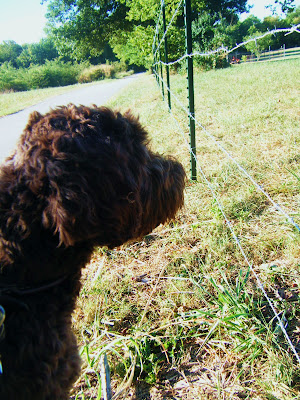 side view of Alfie's furry face as he stares intently across the fence