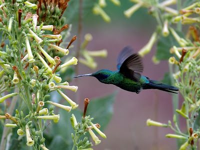 Flying Colibri Wallpaper