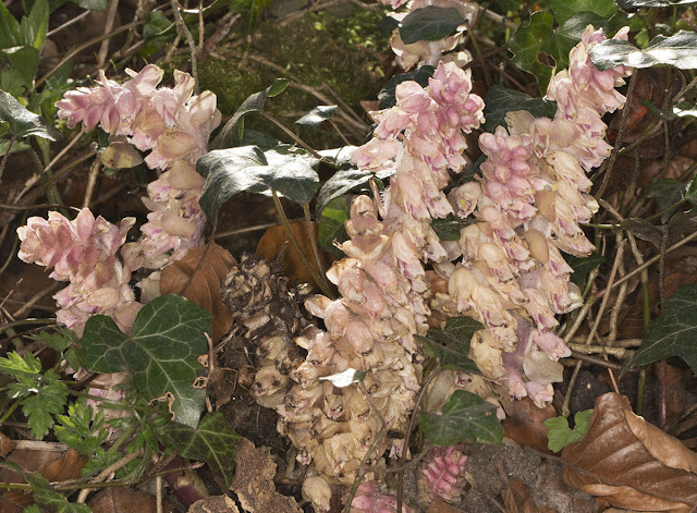 Toothwort, Lathraea squamaria.  Cuckoo Wood, High Elms, 21 April 2013.