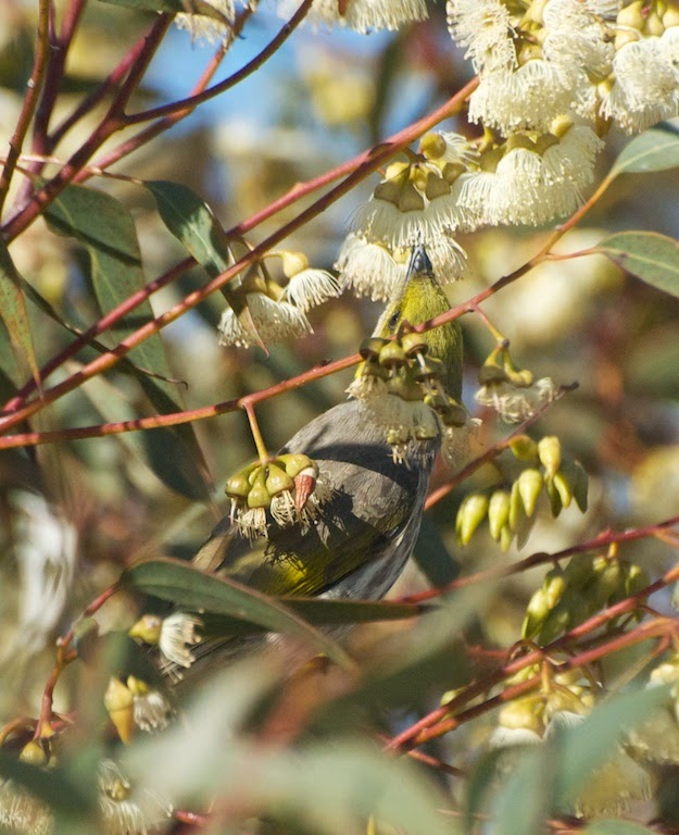 Yellow-plumed Honeyeater (Lichenostomus ornatus)