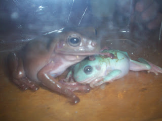White Dumpy Frog and Blue Dumpy Frog