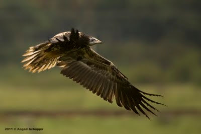 juvenile egyptian vulture in flight