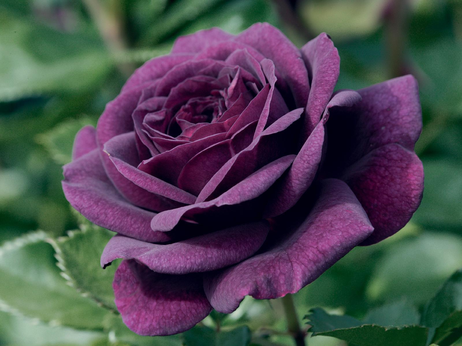 Deep Purple Rose wallpaper 1080p (1600 x 1200 )
