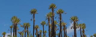 Espeletia Uribei, la especie de frailejón que alcanza mayor altura, es endémica de la zona de Siecha.